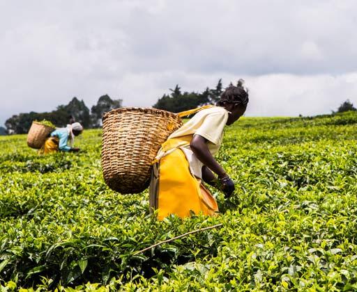 Kenya tea producers