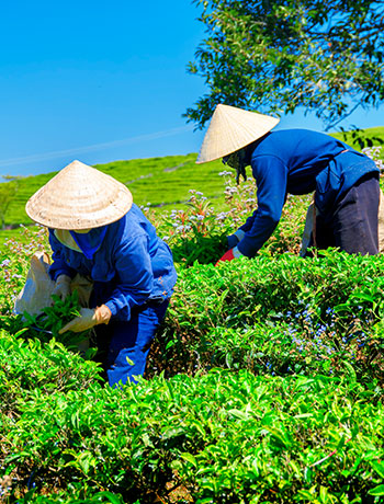 Hand-plucked from the finest tea gardens