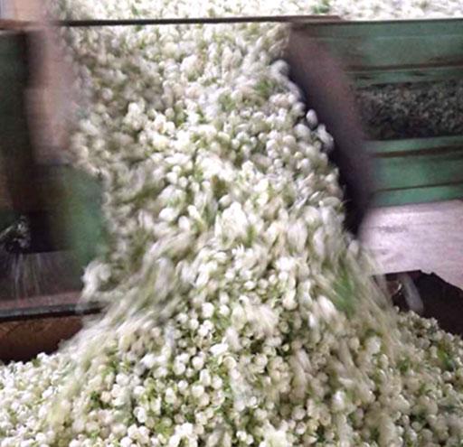 Jasmine tea process