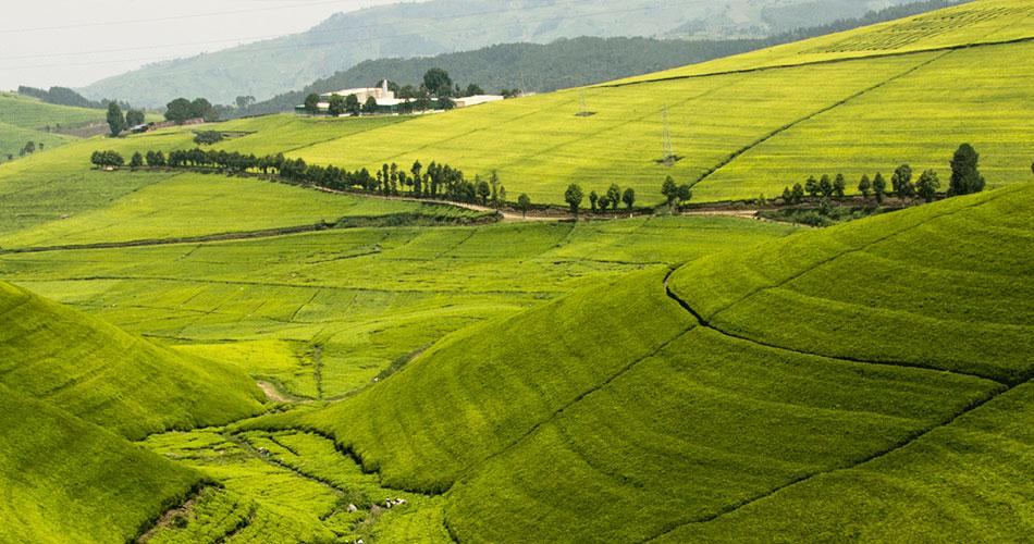 Rwanda – Tea From the Land of a Thousand Hills
