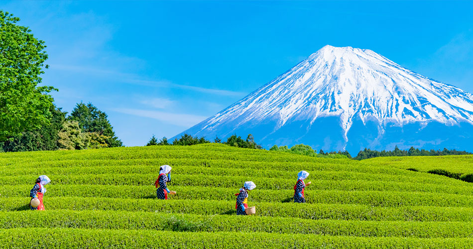 Exploring the history, geography, culture and production of tea in Japan.