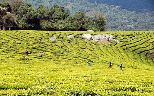 Tea plantation Tanzania