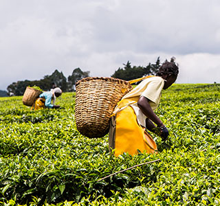 From those small early seeds of planting, today Kenya is now the largest exporter of tea in the world.