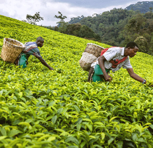 Rwanda tea plucking