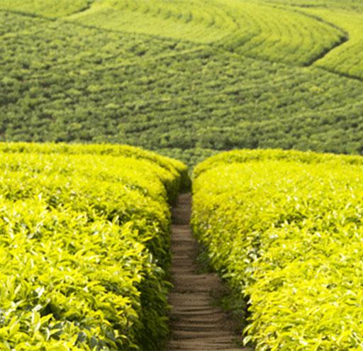 Rwanda tea hills