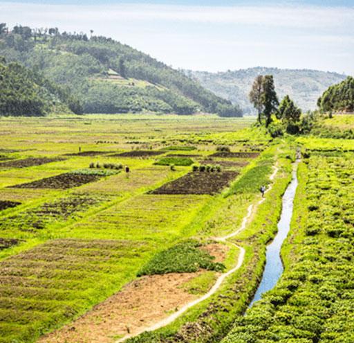 Rwanda Tea garden