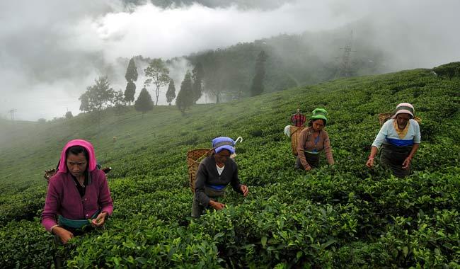 Tea-Pluckers-in-Darjeeling
